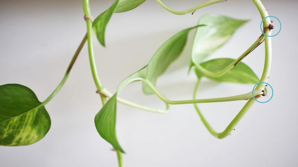 Die Efeutute vermehren: Stecklinge abschneiden